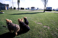 Doggies at Belgium Seaside