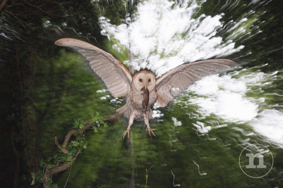 Barn Owl on her way to feed chicks